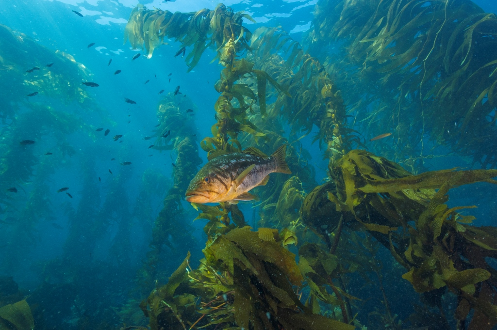 kelp4